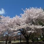 2014年の桜〜熊谷夜桜と新宿御苑〜