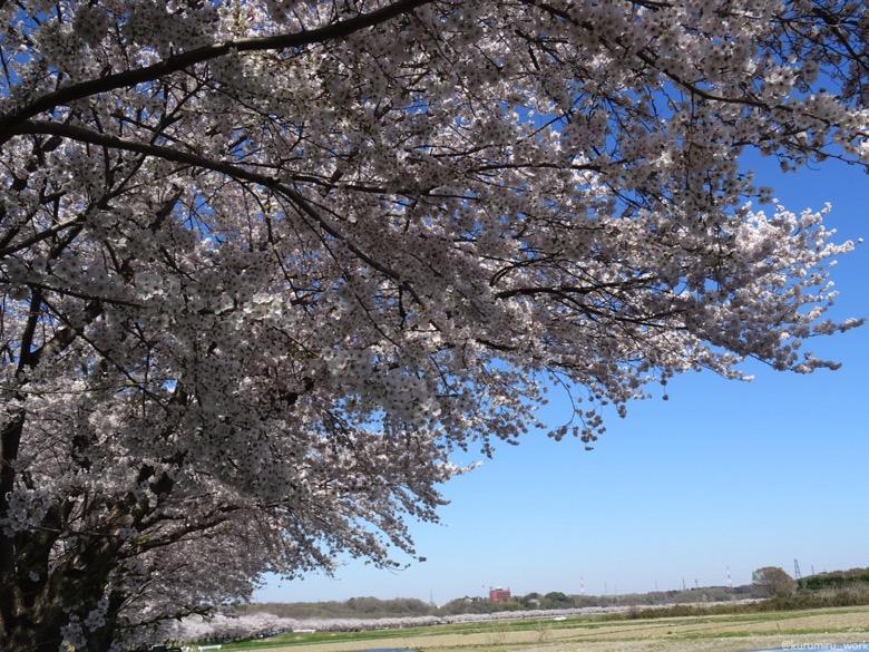 槻川散策回廊の桜
